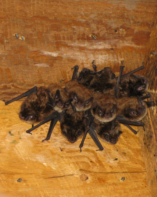 little brown bat roosting group